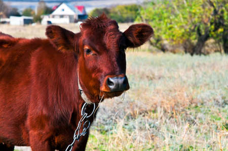 The calf eats hay on a meadow Stock Photo