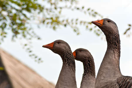 Three Geese proudly watching from above