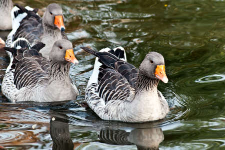 A flock of geese floating on the water, first - leader Stock Photo