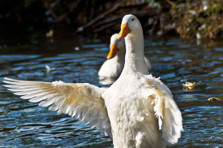 The white duck does the big wingspan on water