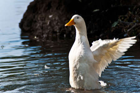 The white duck wants to fly up from lake Stock Photo