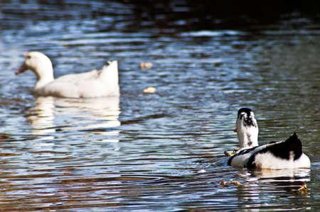 Two ducks swim on pure lake photo