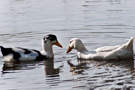 Two wild ducks look against each other