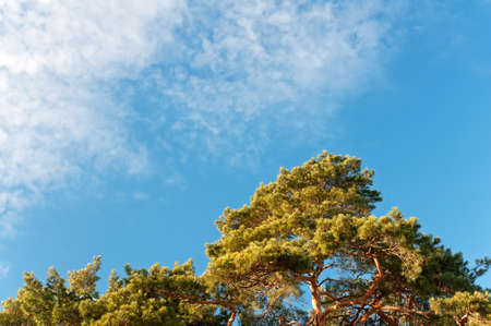Green crown of pine on a background of blue sky in winter