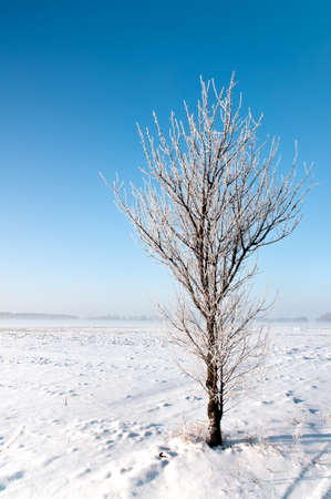 Alone plum tree covered with hoarfrost standS in the field Stock Photo