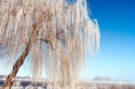High lush willow covered with a hoarfrost
