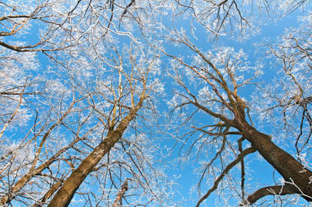 Tall trees in the woods covered with hoarfrost against a blue sky Stock Photo