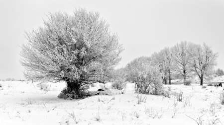 The lonely tree covered with hoarfrost grows on a meadow