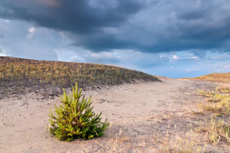 The small pine has grown on sand. Sunset Stock Photo