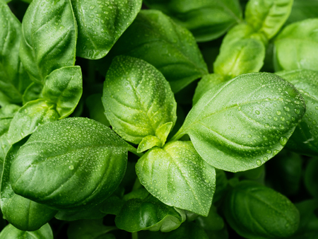 fresh basil leaves. Basil plant with green leaves. Copy space. Banco de Imagens