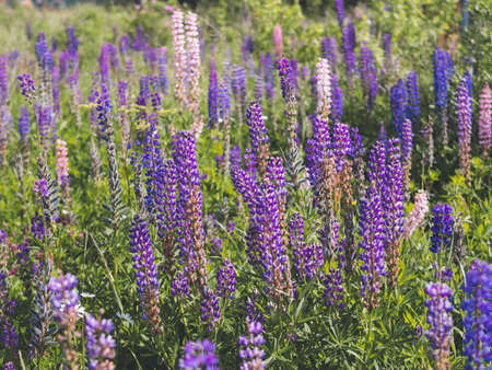 purple lupins flowers in field. Bright blue and purple lupins. Horizontal shot Cottagecore and farmcore concept. Stockfoto