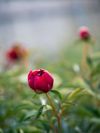 Beautiful unopened red purple peony in garden. Close up view of red purple piones on greeny background. Copy space for text. Vertical. Authentic shot. Cottagecore, fresh air, slow life concept