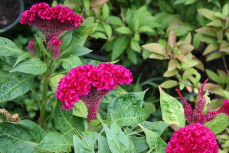 Pink Cockscomb Flower