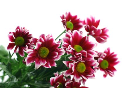 claret: Bouquet from claret chrysanthemums