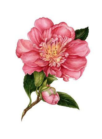 The flower of camelia drawn by watercolour paints. My artwork Stock Photo