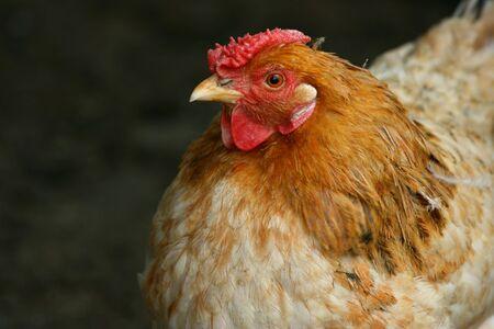 Close up of a hen, farm birds Stock Photo - 3264527