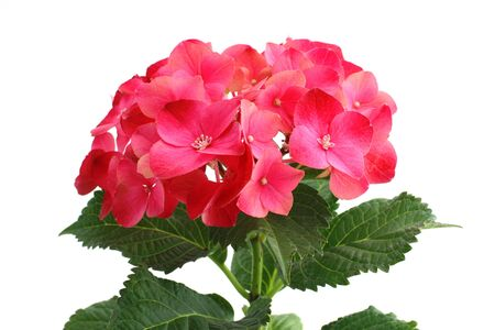 The big red inflorescence of hortensia