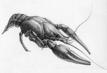 nipper: drawing of crawfish on white paper