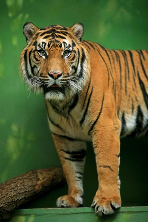 gaze: Bengal Tiger gaze to the audience at the Zoo Stockfoto
