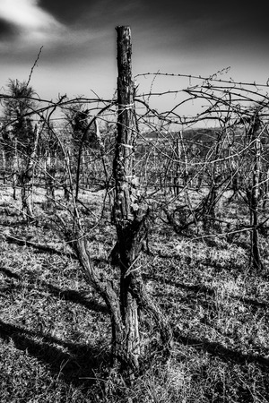 vintage vineyards in Vicenza taken in Black and white