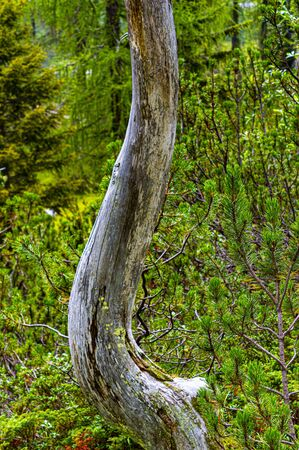 dead tree trunk stands sinuously among lush pines impressing its shape 스톡 콘텐츠
