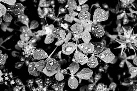 raindrops among the leaves of field grass in black and white Imagens