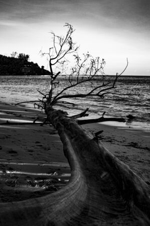 dead tree abandoned on the beach in front of a sleeping ocean Imagens