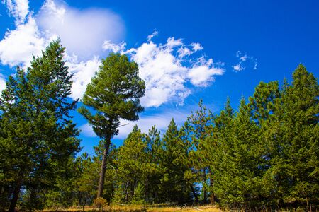 trees stand out against the blue sky with white clouds on a summer day in Chautauqua Park in Boulder Colorado Stockfoto - 134036814