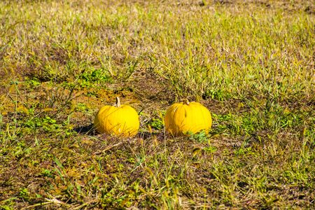 two yellow and round pumpkins abandoned in a field burned by the first frost of November in Sovizzo small town on the hills of Vicenza, Veneto, Italy. Stockfoto