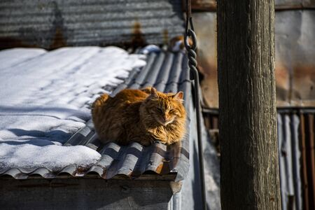 wild red cat warms up in the winter sun of December over the roof of a wood shed in Asiago, Veneto, Italy.