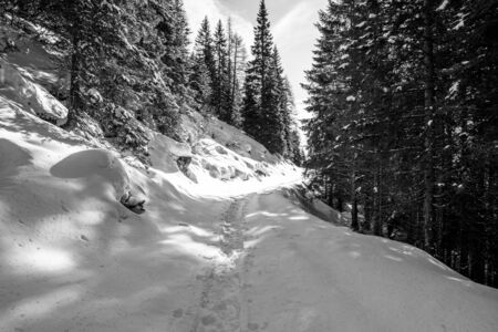 path traced by snowshoes on the snow just fallen in the woods of Vezzene on the Asiago plateau, Trento, Italy
