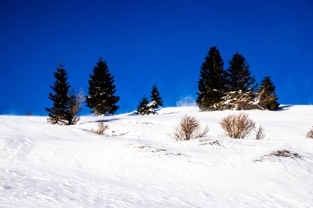 wind sweeps the snow with pines in the background on the peaks around the Vezzene plain on the Asiago plateau, Italy