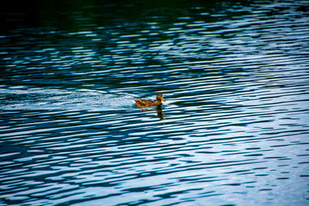 a duck swims quietly on the Alpine Lake of Tovel in the Val Di Non, Trento, Italy