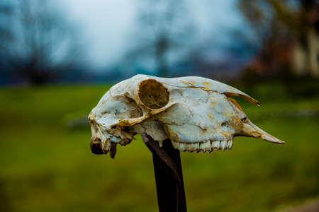 animal skull in the trail of the big trees in Recoaro, Vicenza, Italy
