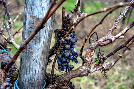 bunch of grapes abandoned on the vineyards degraded by time in Villaga, Vicenza Italy Banque d'images