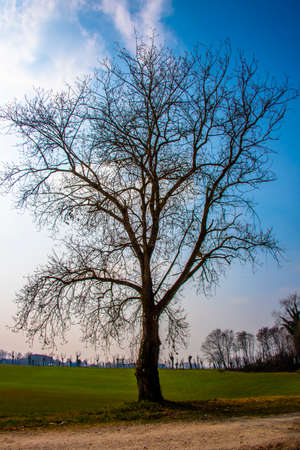 majestic tree without leaves