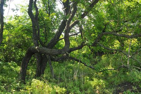 ponderosa pine winter: Crooked tree in New York Seaside Park