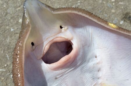 devil ray: stingray scate closeup teeth