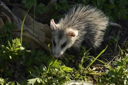 Gemeenschappelijke Opossum (Didelphis marsupialis)
