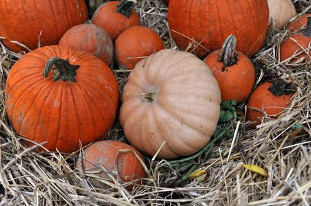 Assorted pumpkins in preparation for Halloween photo