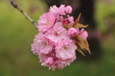 blossoming cherry trees in Brooklyn, New York - April 29, 2011 photo