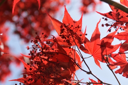 Red Japanese maple trees photo