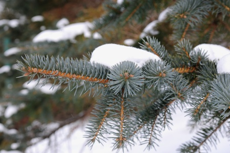 ponderosa pine winter: Pine tree branches covered with snow frost