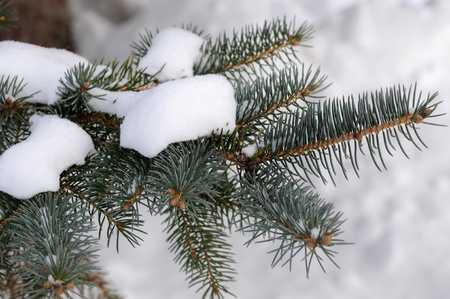 Pine tree branches covered with snow frost photo