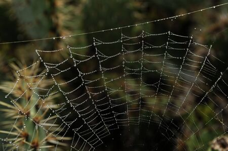 Spider cobweb in the moorning at california kaktuses photo