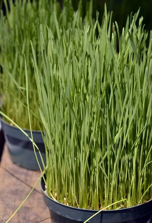 Green wheat at a market  photo