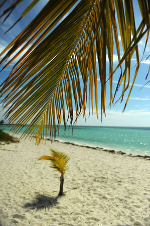 Coconut palm trees at empty tropical beach of Bahamas photo