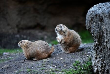 togheter: Two black-tailed prairie dogs forages above ground for grasses and leaves