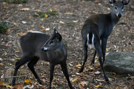 tufted: Two Tufted Deers