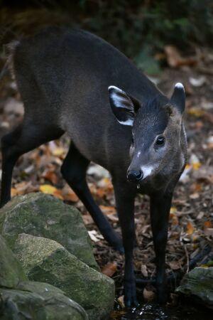 retiring: Tufted Deer